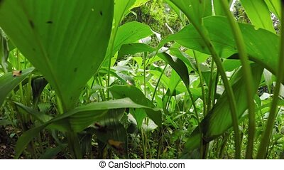 Camera Rising Up from Dense Ground Cover in Rainforest....