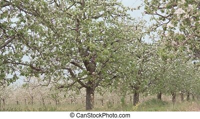 camera slide inside of apple orchard with flowers growing on trees