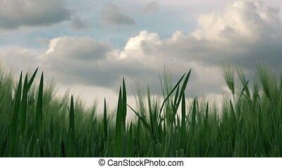 Camera sliding through wheat field