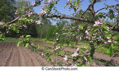 Camera turn near apple tree blooms