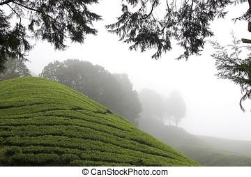 cameron, chá, altiplanos, plantação, campos