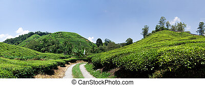 Cameron Highlands - Tea plantation panorama in Cameron...