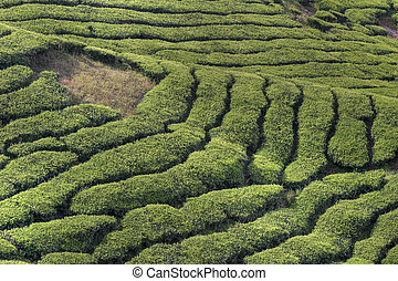 cameron tea plantations - famous landscape of the tea...
