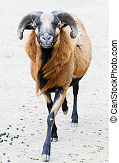 Closeup of a cameroon ram with shallow depth of field