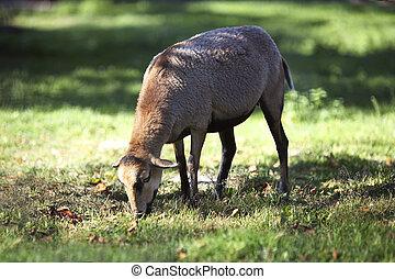 Cameroon sheep grazing