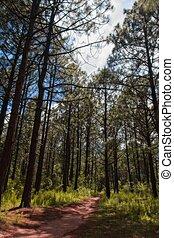 caminata, en, estafar, bosque, sendero, medio, de, pinos, ...