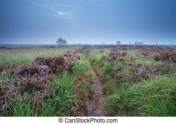 caminho, através, pântano, com, florescendo, heather