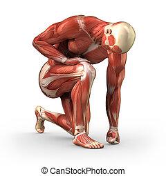 caminho cortante, músculos, homem, visível