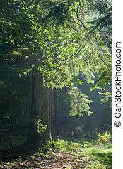 caminho, cruzamento, antigas, árvore carvalho, iluminado,...