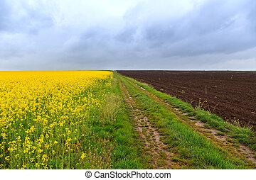 camino de tierra, y, canola, campos