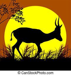 camminare, antilope