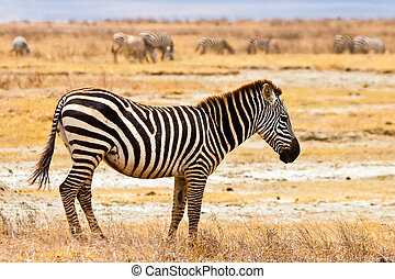 camminare, serengeti, zebra, animale