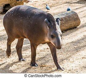 camminare, tapiro, zoo