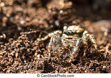 Little spider from the jumping spider family (Salticidae) camouflaged on the ground