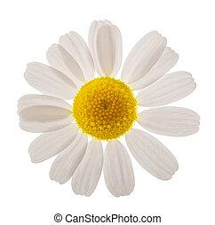 camomila, cabeza flor