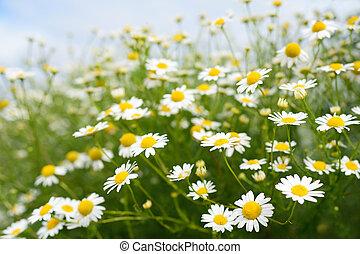camomila, flores, en, cielo, plano de fondo