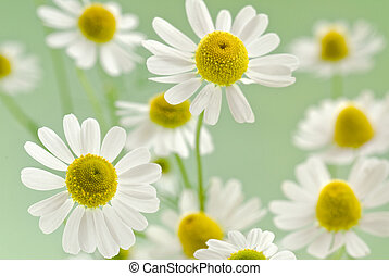 camomile bouquet - fresh camomile flowers on a delicate...