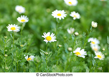 camomile daisies in a field