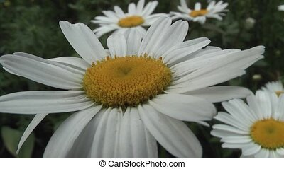camomile - daisy beautiful flower