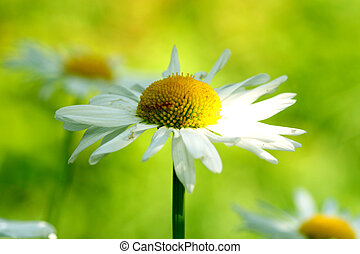camomile daisy flowers nature background