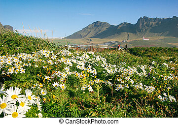 Camomile field and view at Vik church, Iceland