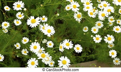 Camomile field in summer morning