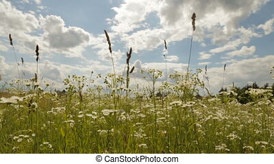 Camomile field under the cloudy sky - Camomile field on a...