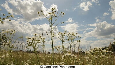 Camomile field under the cloudy sky
