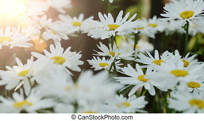 Camomile Flowers At Garden - Beautiful camomile flowers at...