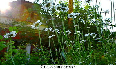 camomile flowers at sunset on backyard