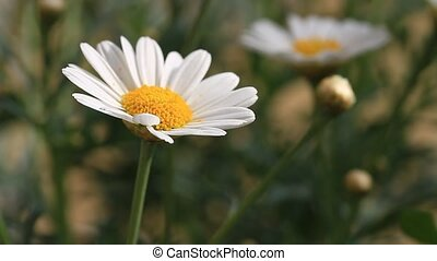 Camomile flowers. Floral background with daisies. Close-Up