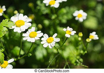 Camomile flowers in a garden in a sunny day