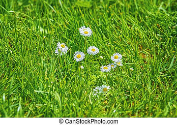 Camomile Flowers in Grass