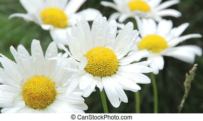 Camomile flowers in the rain