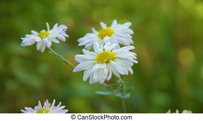 Camomile Flowers Nature - Beautiful flowers in field on...
