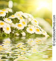 Camomile flowers reflected in water
