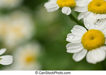 Camomile flowers with water drops after a rain
