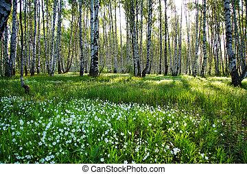 Camomile glade in birch forest