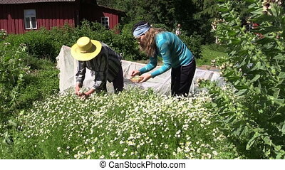 camomile herb gather - Senior grandmother and young pregnant...