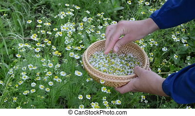camomile herb pick - Female hand pick camomile herbal flower...