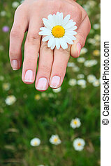Camomile in a hand