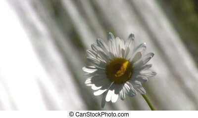 Camomile in front of cascade, close