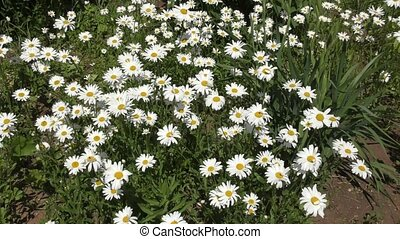 Camomile in spring morning - Camomile blossoms in spring...