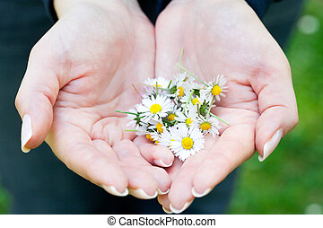 camomile in the hands of women