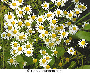 Camomile in the natural surrounding of garden