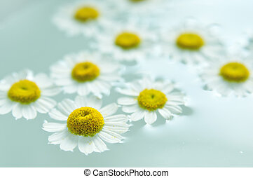 Camomile flowers in water