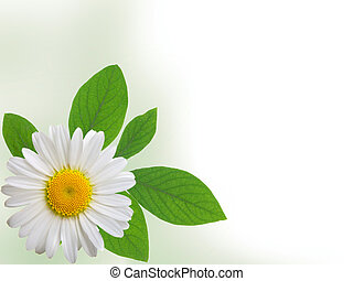 camomile isolated on white background with with room for text