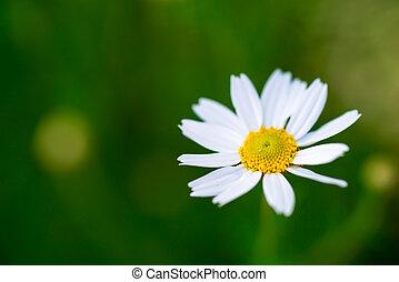 camomile, margherita, singolo, bianco, verde, fiore, prato