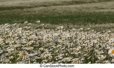 Camomile meadow in bloom
