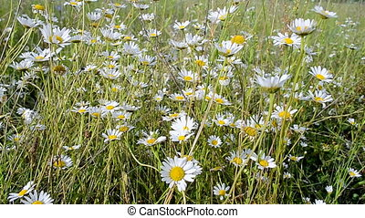 camomile meadow, summer nature